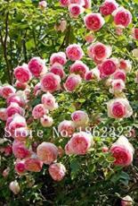 10PCS Chinese Peony Tree Seeds - 3 Types of Types
