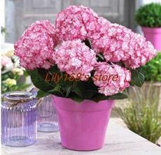 10PCS Hydrangea Seeds Perennial Flower - 2 Types Available