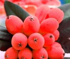 10PCS Loquat Fruit Tree Seeds