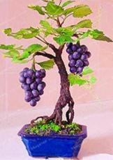 50PCS Big Miniature Grape Vine Seeds Purple Fruits