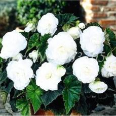 100PCS Begonia Flower Seeds - White Double Flowers