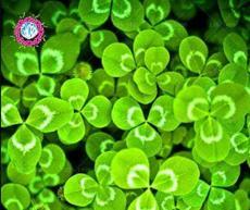 100PCS Shamrock Oxalis Medicago Trifolium Flower Seeds