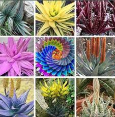500PCS Charming Aloe Mix Seeds