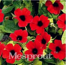 10PCS Thunbergia AlataChile Susan Seeds - Dark Red Color with Black Eye