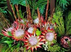 200PCS Protea Cynaroides Seeds