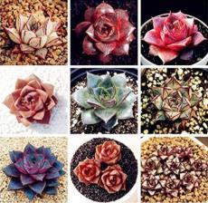 100PCS Echeveria Purpusorum Seeds - Mixed