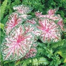 100PCS Japanese Caladium Bicolor Seeds