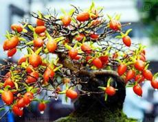 20PCS Dwarf Persimmon Seeds Bonsai Mini Fruits