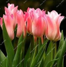 100PCS Tulips Seeds - Water Pink Colors