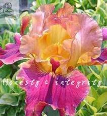 100PCS Iris Flower Seeds - Golden - Light Pink - Rose Pink Flowers