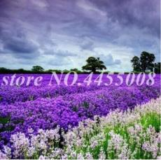 200PCS French Provence Lavender Seeds - Mixed Pink and Purple Colors