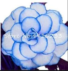 100PCS Begonia Seeds - White Double Flowers with Blue Edge