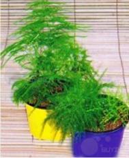 20PCS Asparagus setaceus Perennial Seeds