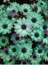 100PCS Gerbera Daisy Seeds Hybrid - Apple Green Flowers with Purplish Black Centre