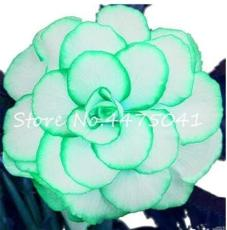 50PCS Rieger Begonias Flower Seeds - 2 Colors Available