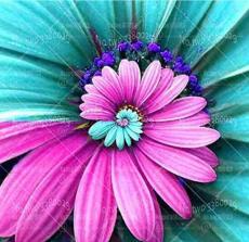 30PCS Spiral Daisy Seeds - Rainbow Color