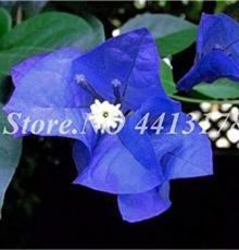 50PCS Bougainvillea Seeds - Blue Colors