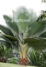 100PCS Travelers Palm Flores Bonsai Seeds
