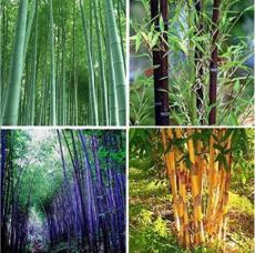 60PCS Bamboo Seeds Mixed Green Black Purple Yellow Colors