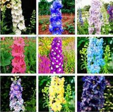 100PCS Hydrangea Rocket Larkspur Plant Seeds Ajacis Delphinium - Mixed 9 Colors