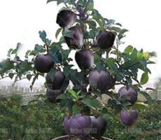 30PCS Black Diamond Apple Tree Plant Seeds