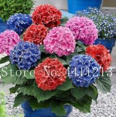 100PCS Hydrangea Bonsai Flower Seeds - Mixed Blue Pink Red Flowers