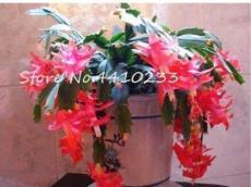 100PCS Zygocactus Truncatus Bonsai Seeds - Rose Pink Flowers