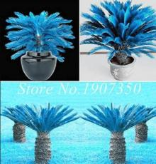 50PCS Sago Cycas Seeds - Blue Plant