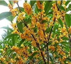 10PCS Fragrance osmanthus Tree Seeds - 2 Colors Available