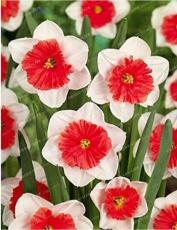100PCS Narcissus Flower Balcony Plants Seeds - White and Rose Red Centre Flowers