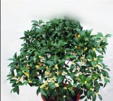 10PCS Fragrance osmanthus Tree Seeds - Yellow Bonsai Flowers