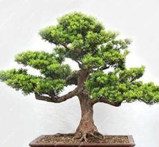 20PCS Potted Pine Tree Seeds Pinus Thunbergii Podocarpus macrophyllus