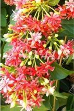 100PCS Honeysuckle Vine Plant Seeds - Water Pink Color