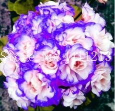 30PCS Geranium Seeds - Light Water Pink Double Flowers with Purple Edge Ball Type