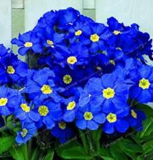 200PCS Fragrant Evening Primrose Seeds - Dark Blue Flowers with Yellow Centre