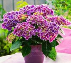 50PCS Hydrangea Seeds - 2 Colors Available