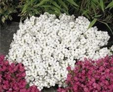 200PCS Creeping Thyme Seeds Rock CRESS Plant - White and Dark Red Color