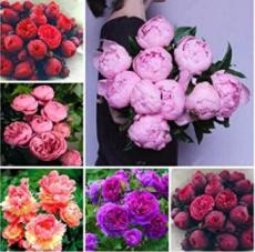 10PCS Chinese Peony Seeds - Mixed Red Pink Light Pink Purple Bicolor Flowers