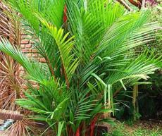 10PCS Lipstick Palm Cyrtostachys Renda Tree Seeds