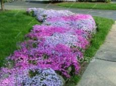 200PCS Creeping Thyme Seeds Rock CRESS Plant - Mixed Pink and White Colors