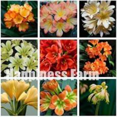 100PCS Mixed Clivia Seeds - Mixed 9 Colorful Colors