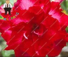 2PCS Desert Rose Seeds - Bright Dark Red Double Flowers