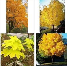 100PCS Yellow Maple Tree Seeds