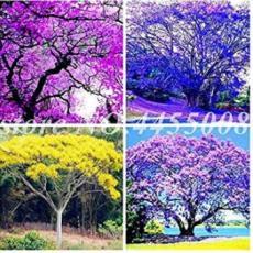 50PCS Jacaranda Mimosifolia Tree Seeds - Mixed 4 Colors