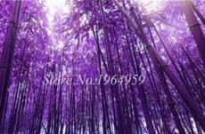 50PCS Bamboo Seed Lucky Moso Tree Seeds - Dark Purple Color