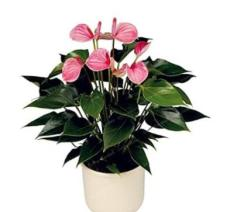 100PCS Anthurium Seeds - Light Pink Flowers