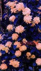 100PCS Clematis Seeds - Light Khaki Color
