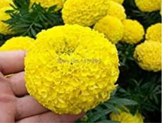 100PCS Yellow African Marigold French Marigold Seeds