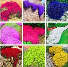 100PCS Creeping Thyme Seeds - Mixed 9 Colors