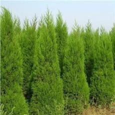 100PCS Italian Cypress Trees Seeds Platycladus Orientalis